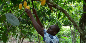 Cocoa Giants Embrace Sustainability, But Consumers Remain Key to Lasting Progress.